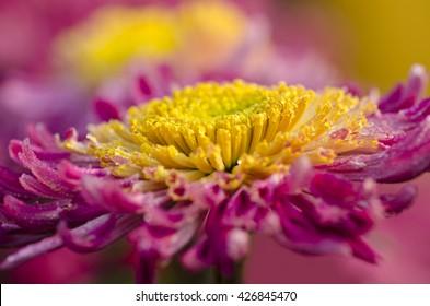 chrysanthemum - Shutterstock ID 426845470