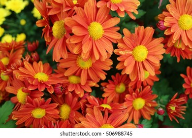 chrysanthemum bloom close-up