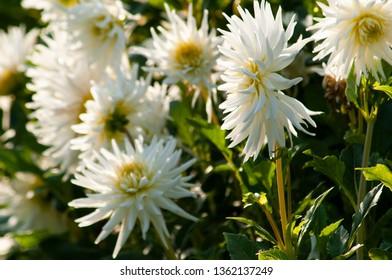 Chrysanthemum blooming at garden