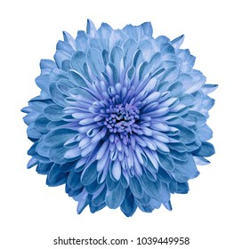 Chrysanthemum blue. Flower on  isolated  white background with clipping path without shadows. Close-up. For design. Nature.