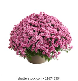 Chrysanthemum bush cultivar Belgo Lilac isolated on white
