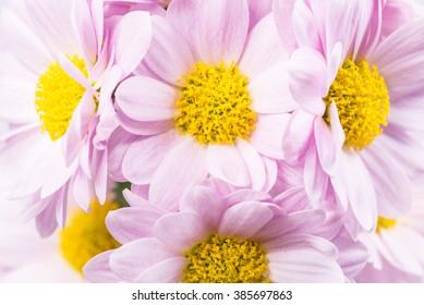 Chrysanthemum, close-up, macro.