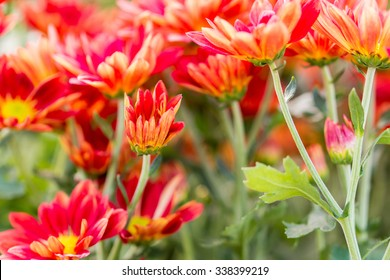 Chrysanthemum colourful in garden.Image is Soft focus.Image contain certain grain or noise.