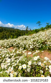 Chrysanthemum cultivation to produce water with chrysanthemum tea at Aomlong,  Samoeng , Chiang Mai, Thailand.