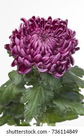 Chrysanthemum Daily Miror