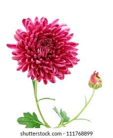 A chrysanthemum daisy