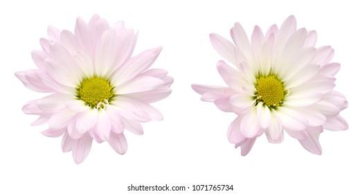 Chrysanthemum daisy isolate