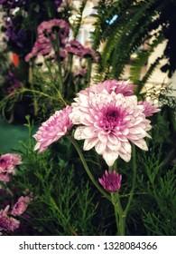 Chrysanthemum ( Dendranthemum grandifflora)