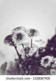 Chrysanthemum (Dendranthemum grandifflora) black and white color.