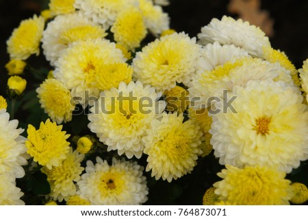 Chrysanthemum ellen white mums chrysanths white stock photo edit chrysanthemum ellen white or mums or chrysanths white flowers with yellow core mightylinksfo