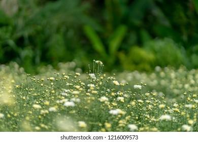 Chrysanthemum in field