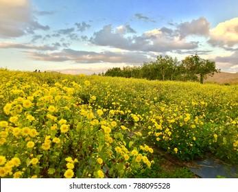 The Chrysanthemum field