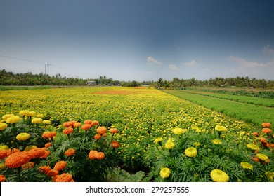 Chrysanthemum field in Can Tho province, Vietnam