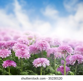 Chrysanthemum field in a morning with sky as background.