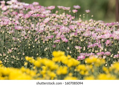 Chrysanthemum field in Saraburi Province, Thailand has a variety of species. Open for tours all year