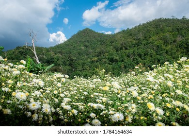 Chrysanthemum Field : White chrysanthemum flower in plantation field with blue sky background. for making chinese herbal medicine.
