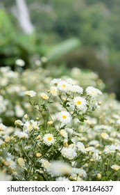 Chrysanthemum Field : White chrysanthemum flower in plantation field . for making chinese herbal medicine.
