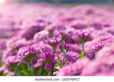 Chrysanthemum fields in so beautiful.