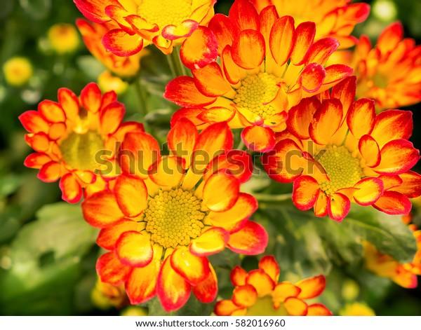Chrysanthemum flower.