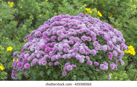 Chrysanthemum Flower arrangement in summery garden.