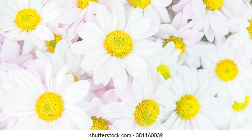 Chrysanthemum flower for background.