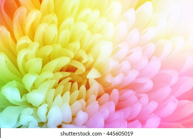 Chrysanthemum flower background with rainbow color style effect fill in photo.
