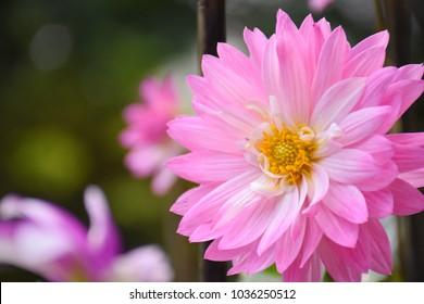 Chrysanthemum flower, Beautiful flower, pink flower in the garden