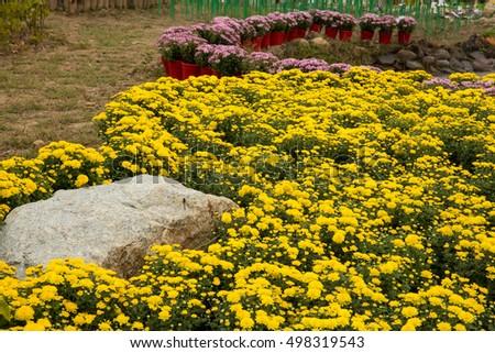 Chrysanthemum Flower Bed Stock Photo Edit Now 498319543 Shutterstock