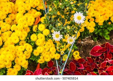 chrysanthemum / flower / bloom