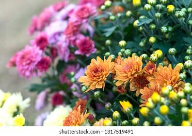 chrysanthemum flower blooming in garden