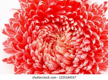 chrysanthemum flower closeup.Background large flower photo