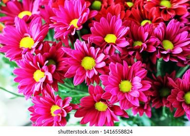 a Chrysanthemum flower with flowers