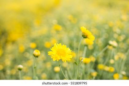 chrysanthemum flower in garden