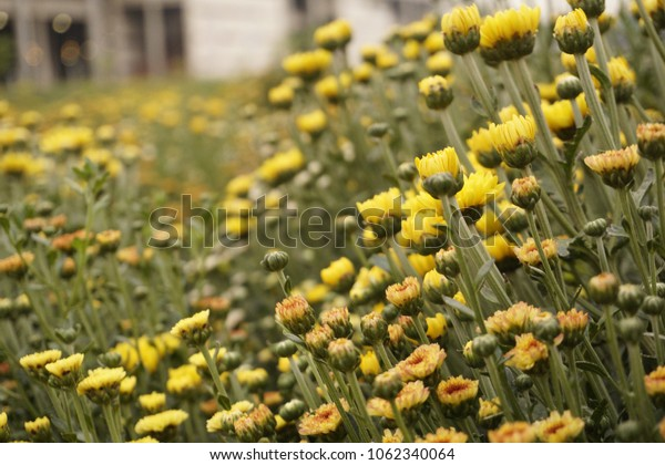Chrysanthemum flower garden