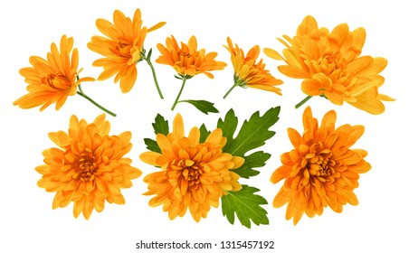 chrysanthemum flower heads with green leaves isolated on white background closeup. Garden flowers set, no shadows, top view, flat lay.
