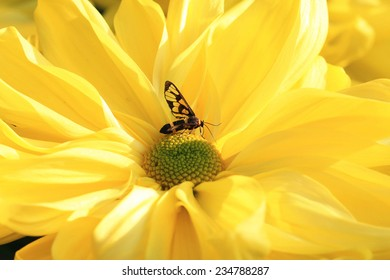 Chrysanthemum flower and insect,closeup of yellow Chrysanthemum flower in full bloom