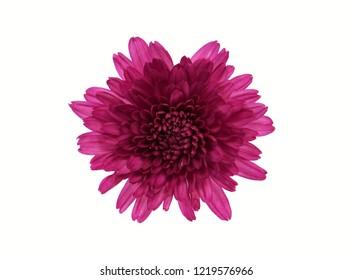 Chrysanthemum flower isolated on white