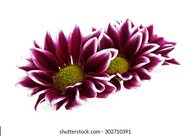 Chrysanthemum flower isolated on white background