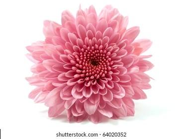 chrysanthemum flower on a white background