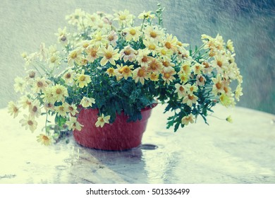 Chrysanthemum in flower pot outside in the rain. Vintage color correction.