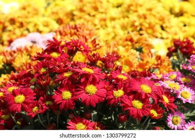 Chrysanthemum flower for sell