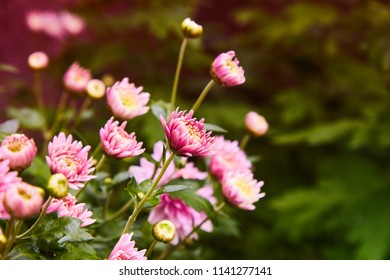 Chrysanthemum flowers as a background close up. Pink and purple Chrysanthemums. Chrysanthemum wallpaper. Floral background. Selective focus.