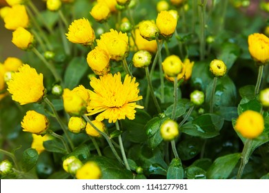 Chrysanthemum flowers as a background close up. Yellow Chrysanthemums. Chrysanthemum wallpaper. Floral background. Selective focus.