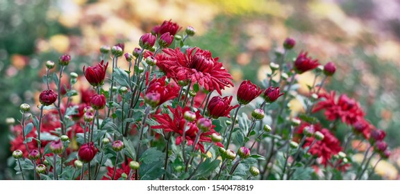 Chrysanthemum flowers bloom in autumn in the flower garden. Beautiful red chrysanthemum flowers close up.