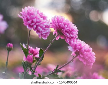 Chrysanthemum flowers bloom in autumn in the chrysanthemum garden. Beautiful chrysanthemum flowers close up.