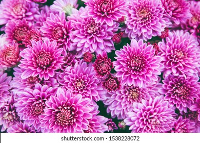 Chrysanthemum flowers close up as a beautiful autumn background. Fall theme concept backdrop. Selective focus