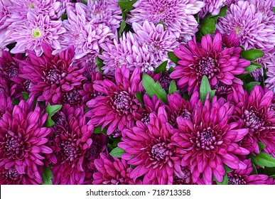 Chrysanthemum flowers close up.Pink Chrysanthemums.Floral background.