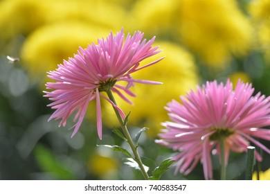 Chrysanthemum flowers. Flowerbed. Gardening