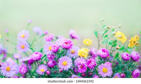 Chrysanthemum flowers macro, shallow depth of field. Purple and yellow chrysanthemums flowers on soft green background. Beautiful Nature floral background with copy space for text,