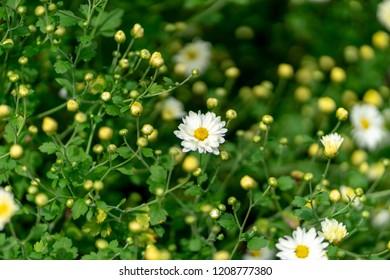 Chrysanthemum flowers this year
